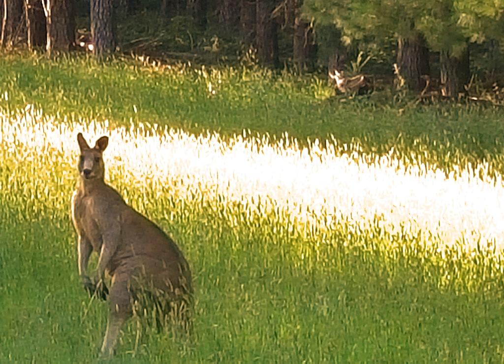 Large Kangaroo